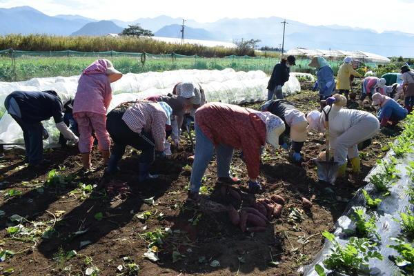 和気あいあいと収穫作業を楽しむ部員